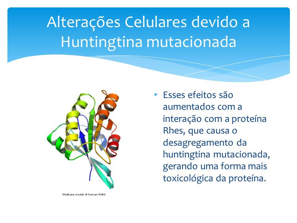 Alterações Celulares devido a Huntingtina mutacionada • Esses efeitos são aumentados com a interação com a proteína Rhes, que causa o desagregamento da huntingtina mutacionada, gerando uma forma mais toxicológica da proteína.