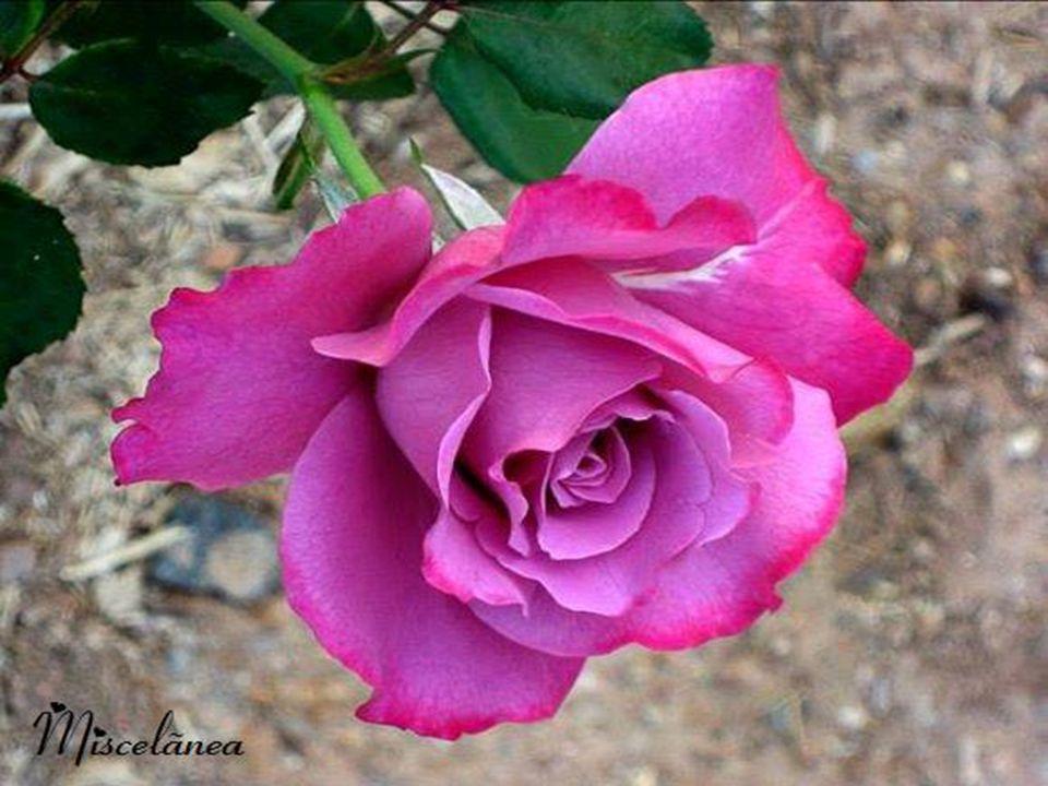 Então, receba essa rosa que te ofereço para enfeitar teu dia, tua noite, tua vida. Ela é a criação de Deus nesse imenso Mágico Jardim da Vida!