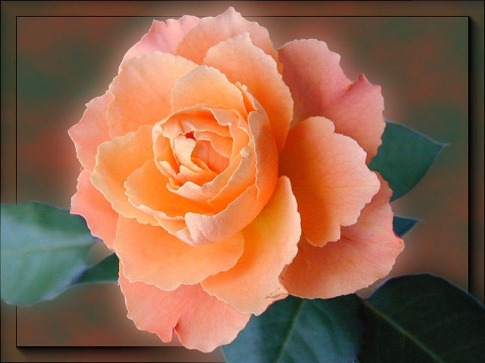 Eu sei que você gosta de flores. Queria te enviar um imenso jardim, maravilhosamente florido, mas, não caberia nesta página... Então, escolhi esta ros