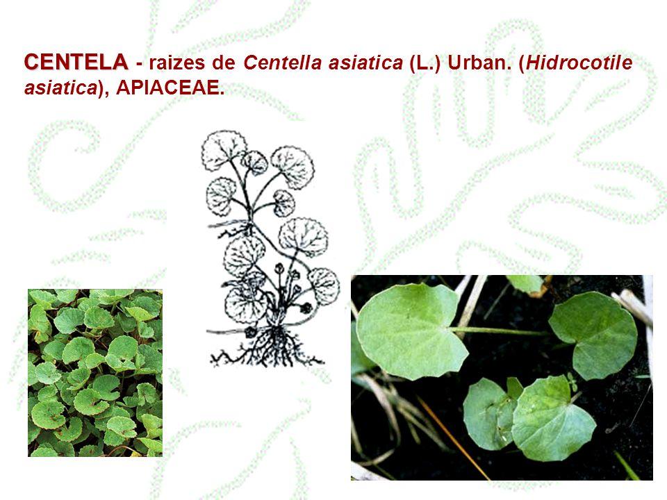 CENTELA CENTELA - raizes de Centella asiatica (L.) Urban. (Hidrocotile asiatica), APIACEAE.
