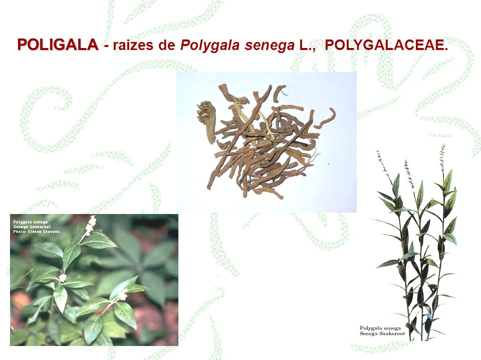 POLIGALA POLIGALA - raizes de Polygala senega L., POLYGALACEAE.