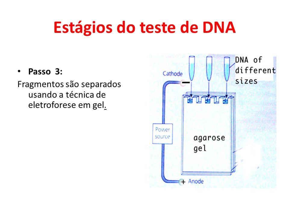 Estágios do teste de DNA • Passo 3: Fragmentos são separados usando a técnica de eletroforese em gel.