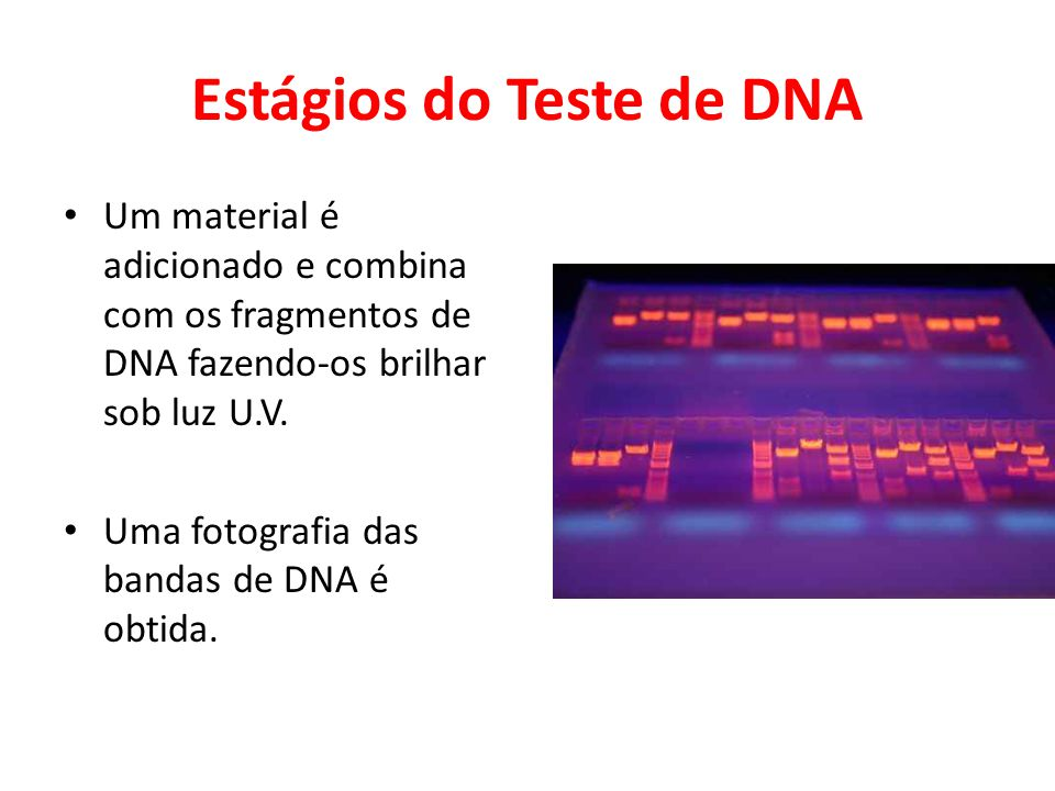 Estágios do Teste de DNA • Um material é adicionado e combina com os fragmentos de DNA fazendo-os brilhar sob luz U.V. • Uma fotografia das bandas de