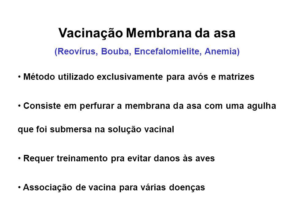 Vacinação Membrana da asa (Reovírus, Bouba, Encefalomielite, Anemia) • Método utilizado exclusivamente para avós e matrizes • Consiste em perfurar a m