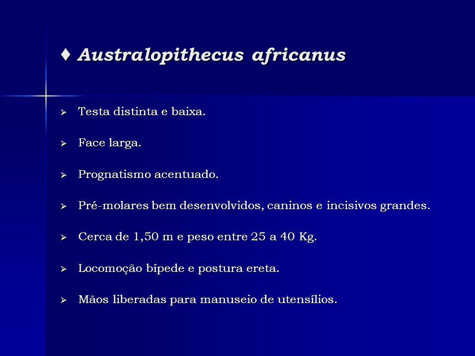 ♦ Australopithecus africanus  Testa distinta e baixa.  Face larga.  Prognatismo acentuado.  Pré-molares bem desenvolvidos, caninos e incisivos gra