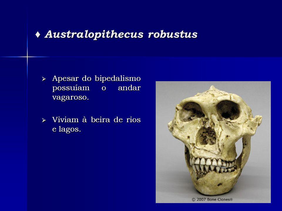  Apesar do bipedalismo possuíam o andar vagaroso.  Viviam à beira de rios e lagos. ♦ Australopithecus robustus
