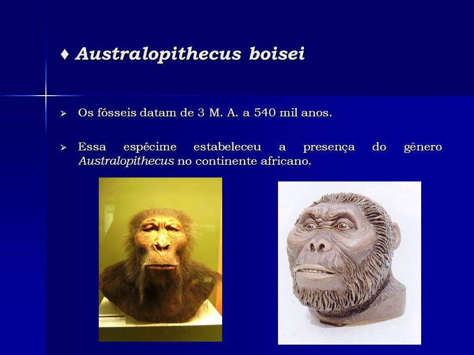 ♦ Australopithecus boisei  Os fósseis datam de 3 M. A. a 540 mil anos.  Essa espécime estabeleceu a presença do gênero Australopithecus no continent