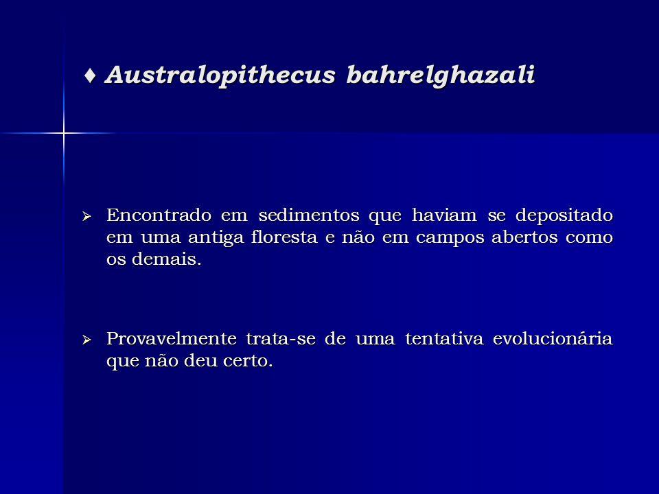 ♦ Australopithecus bahrelghazali  Encontrado em sedimentos que haviam se depositado em uma antiga floresta e não em campos abertos como os demais. 