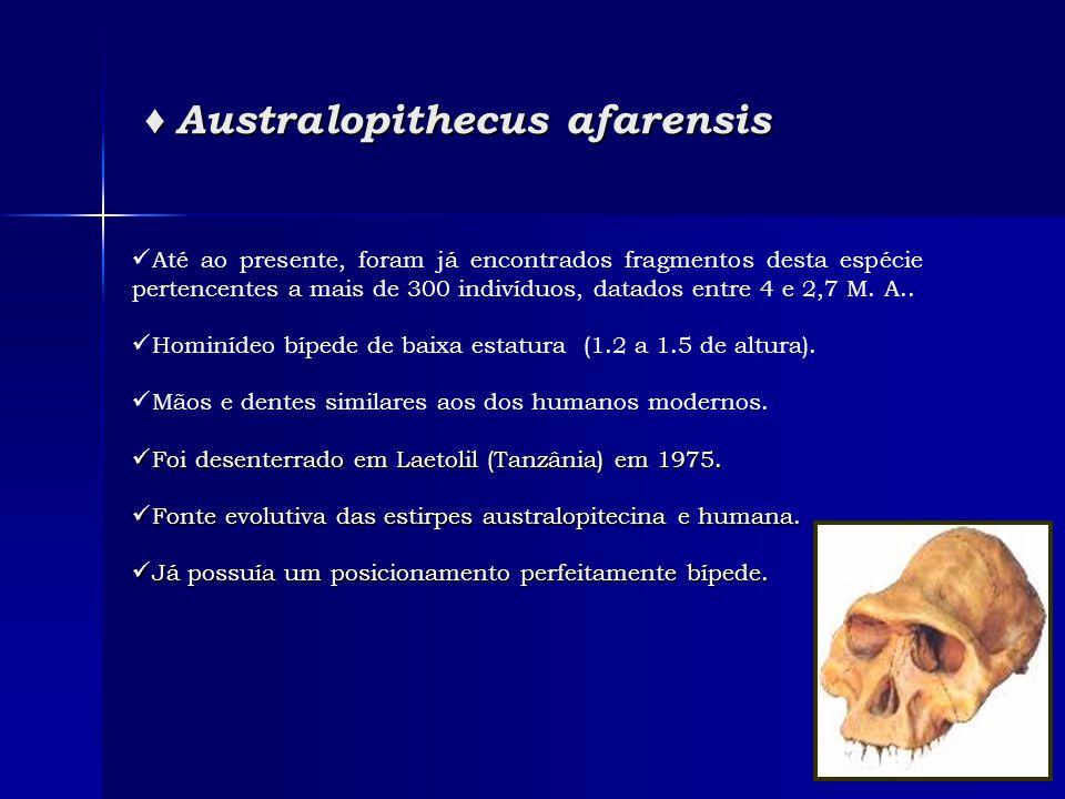 ♦ Australopithecus afarensis ♦ Australopithecus afarensis  Até ao presente, foram já encontrados fragmentos desta espécie pertencentes a mais de 300