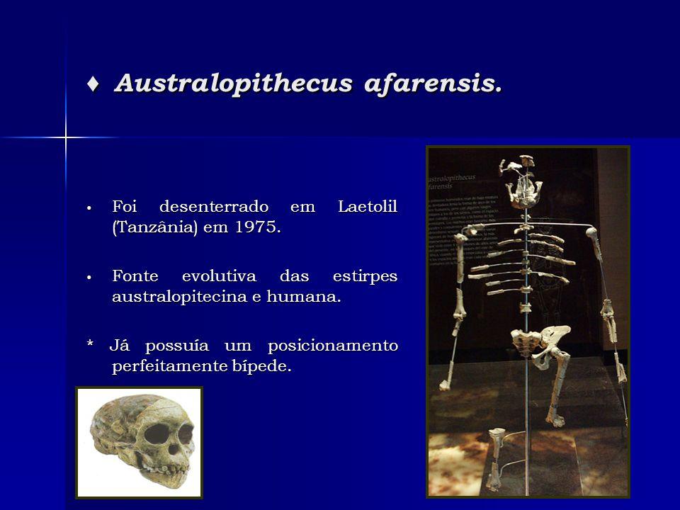 ♦ Australopithecus afarensis. • Foi desenterrado em Laetolil (Tanzânia) em 1975. • Fonte evolutiva das estirpes australopitecina e humana. * Já possuí