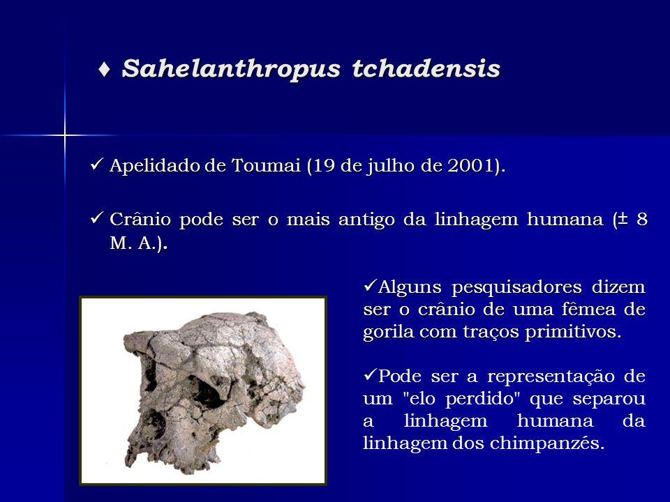 ♦ Sahelanthropus tchadensis ♦ Sahelanthropus tchadensis  Apelidado de Toumai (19 de julho de 2001).  Crânio pode ser o mais antigo da linhagem human