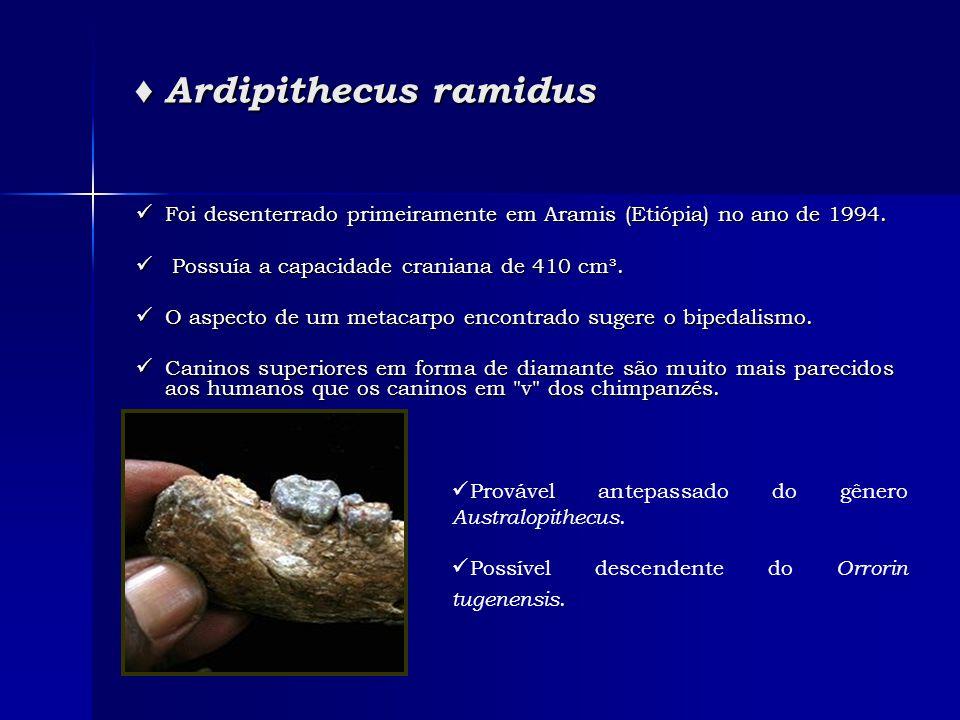 ♦ Ardipithecus ramidus  Foi desenterrado primeiramente em Aramis (Etiópia) no ano de 1994.  Possuía a capacidade craniana de 410 cm³.  O aspecto de
