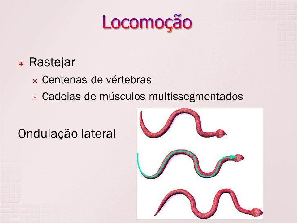  Rastejar  Centenas de vértebras  Cadeias de músculos multissegmentados Ondulação lateral