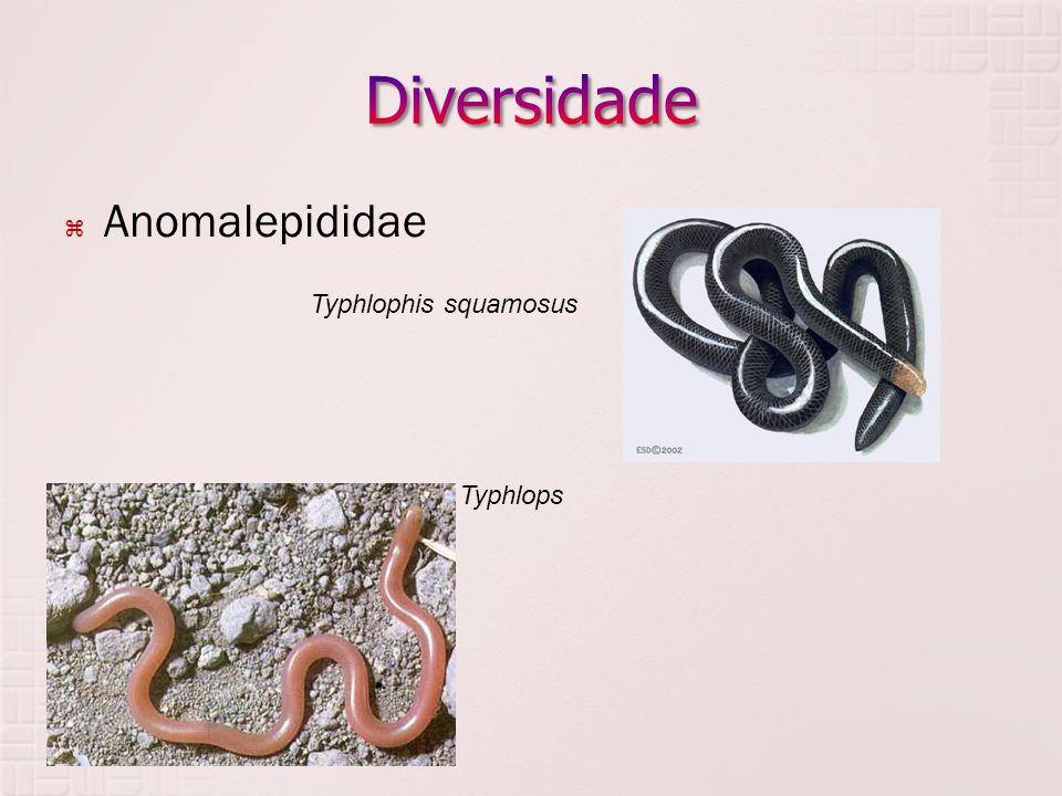  Anomalepididae  Typhlopidae Typhlophis squamosus Typhlops