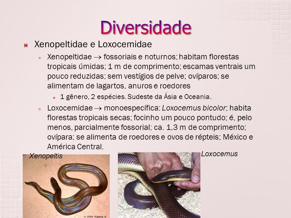  Xenopeltidae e Loxocemidae  Xenopeltidae  fossoriais e noturnos; habitam florestas tropicais úmidas; 1 m de comprimento; escamas ventrais um pouco reduzidas; sem vestígios de pelve; ovíparos; se alimentam de lagartos, anuros e roedores  1 gênero, 2 espécies.