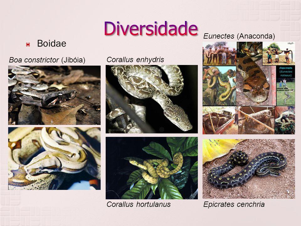  Boidae Boa constrictor (Jibóia) Corallus enhydris Corallus hortulanusEpicrates cenchria Eunectes (Anaconda)