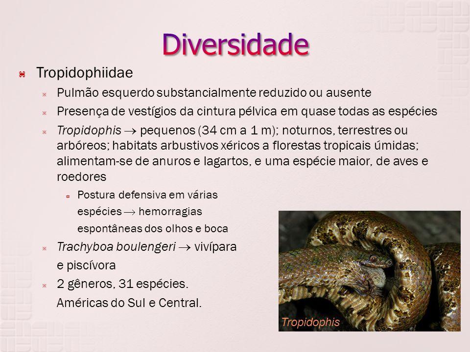  Tropidophiidae  Pulmão esquerdo substancialmente reduzido ou ausente  Presença de vestígios da cintura pélvica em quase todas as espécies  Tropid