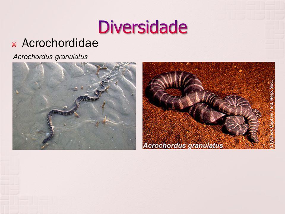  Acrochordidae Acrochordus granulatus