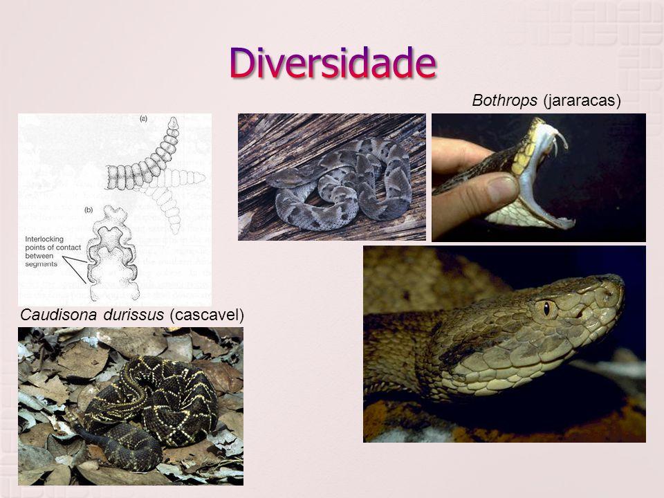  Viperidae Bothrops (jararacas) Caudisona durissus (cascavel)