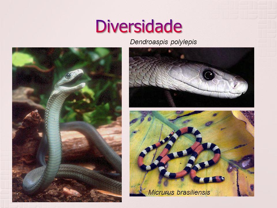  Elapidae Dendroaspis polylepis Micrurus brasiliensis