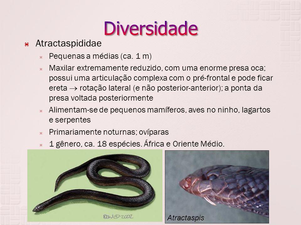  Atractaspididae  Pequenas a médias (ca. 1 m)  Maxilar extremamente reduzido, com uma enorme presa oca; possui uma articulação complexa com o pré-f