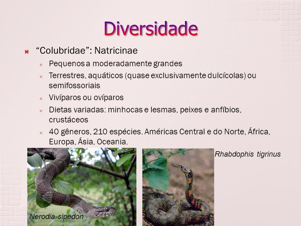 Colubridae : Natricinae  Pequenos a moderadamente grandes  Terrestres, aquáticos (quase exclusivamente dulcícolas) ou semifossoriais  Vivíparos ou ovíparos  Dietas variadas: minhocas e lesmas, peixes e anfíbios, crustáceos  40 gêneros, 210 espécies.