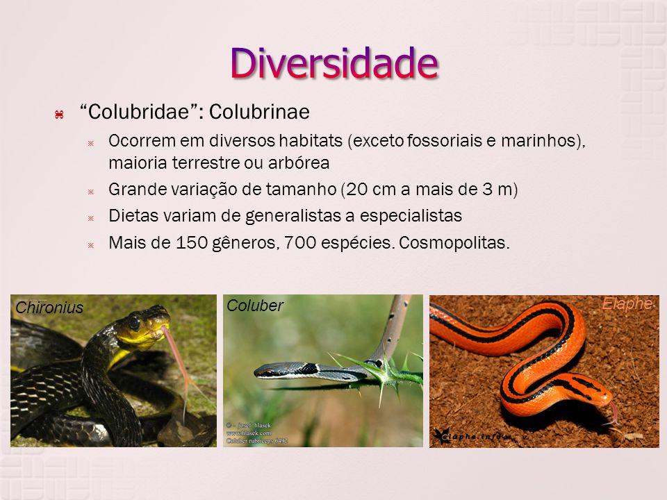  Colubridae : Colubrinae  Ocorrem em diversos habitats (exceto fossoriais e marinhos), maioria terrestre ou arbórea  Grande variação de tamanho (20 cm a mais de 3 m)  Dietas variam de generalistas a especialistas  Mais de 150 gêneros, 700 espécies.