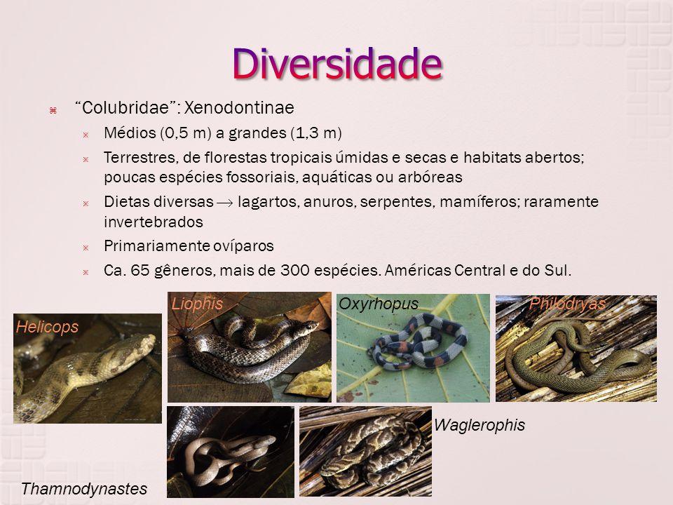  Colubridae : Xenodontinae  Médios (0,5 m) a grandes (1,3 m)  Terrestres, de florestas tropicais úmidas e secas e habitats abertos; poucas espécies fossoriais, aquáticas ou arbóreas  Dietas diversas  lagartos, anuros, serpentes, mamíferos; raramente invertebrados  Primariamente ovíparos  Ca.