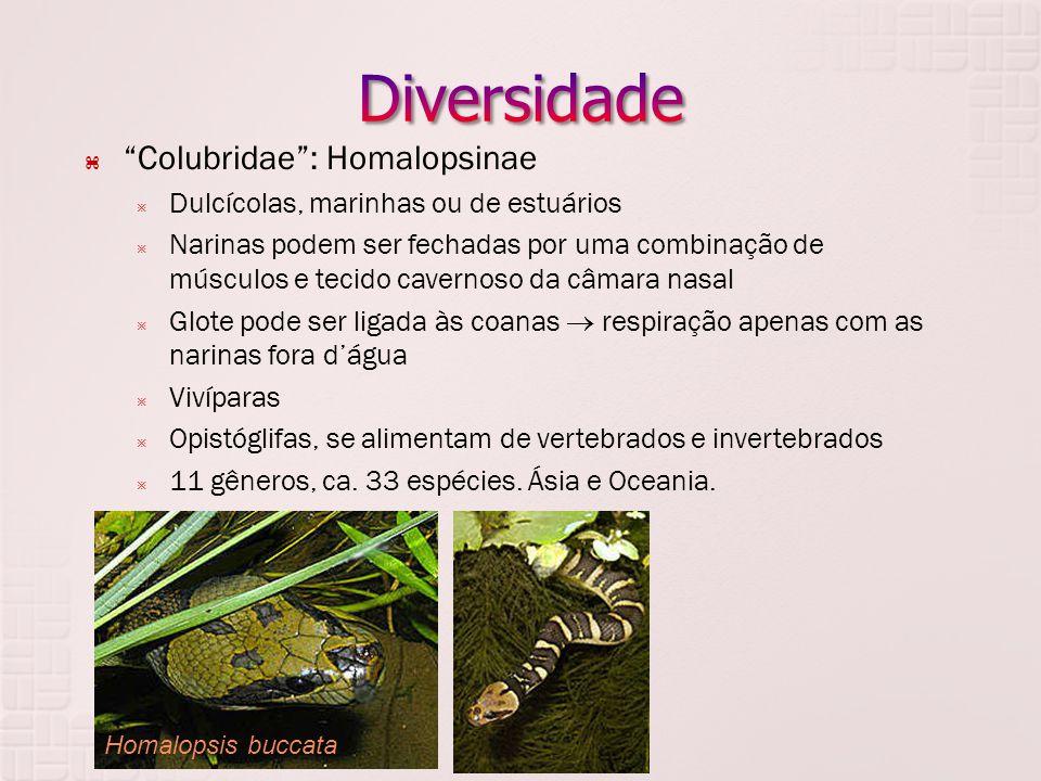  Colubridae : Homalopsinae  Dulcícolas, marinhas ou de estuários  Narinas podem ser fechadas por uma combinação de músculos e tecido cavernoso da câmara nasal  Glote pode ser ligada às coanas  respiração apenas com as narinas fora d'água  Vivíparas  Opistóglifas, se alimentam de vertebrados e invertebrados  11 gêneros, ca.