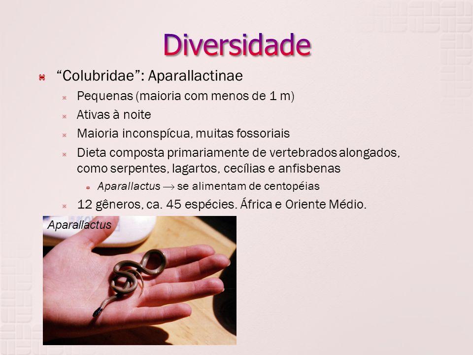  Colubridae : Aparallactinae  Pequenas (maioria com menos de 1 m)  Ativas à noite  Maioria inconspícua, muitas fossoriais  Dieta composta primariamente de vertebrados alongados, como serpentes, lagartos, cecílias e anfisbenas  Aparallactus  se alimentam de centopéias  12 gêneros, ca.