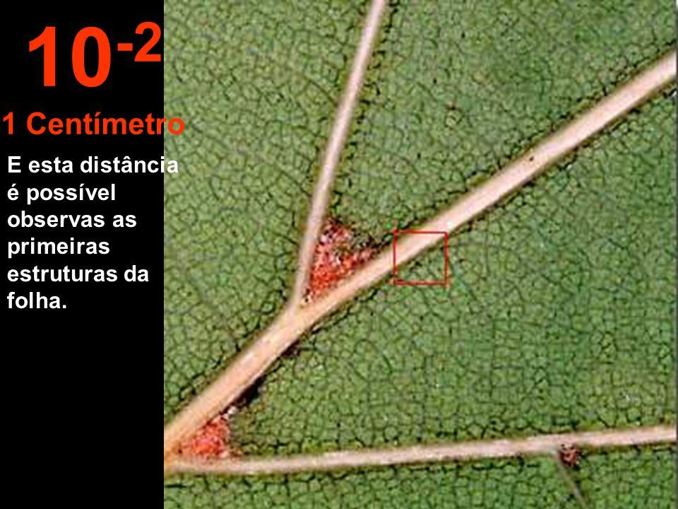 Aproximando- se 10 centímetros podemos delinear uma folha. 10 -1 10 Centímetros