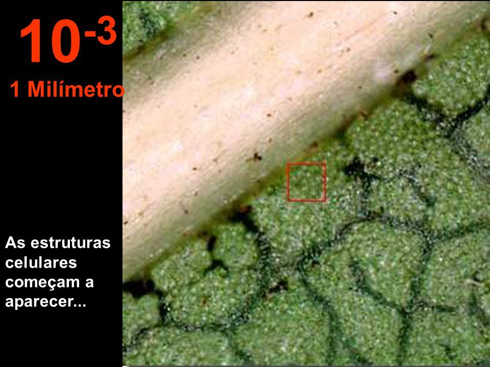 E esta distância é possível observas as primeiras estruturas da folha. 10 -2 1 Centímetro