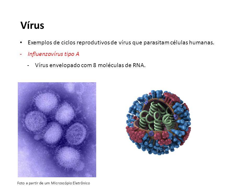 Vírus Exemplos de ciclos reprodutivos de vírus que parasitam células humanas. -Influenzavírus tipo A -Vírus envelopado com 8 moléculas de RNA. Foto a