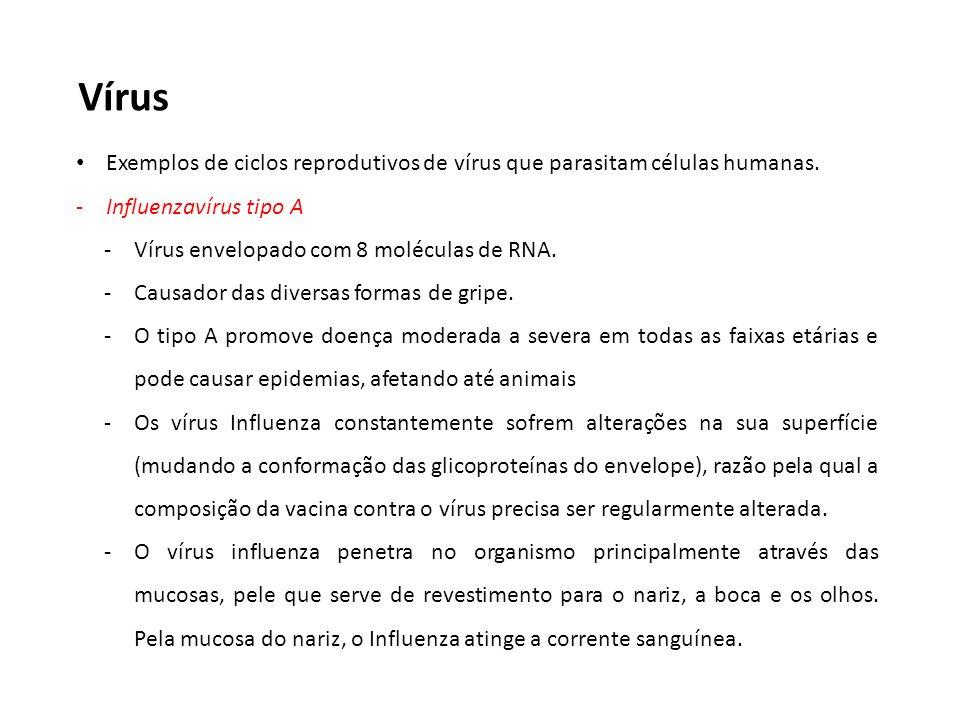 Vírus Exemplos de ciclos reprodutivos de vírus que parasitam células humanas. -Influenzavírus tipo A -Vírus envelopado com 8 moléculas de RNA. -Causad