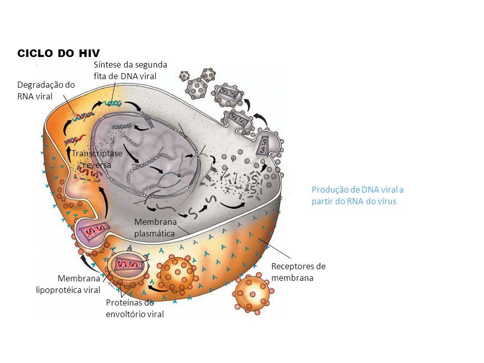 CICLO DO HIV Receptores de membrana Membrana plasmática Proteínas do envoltório viral Membrana lipoprotéica viral Produção de DNA viral a partir do RN
