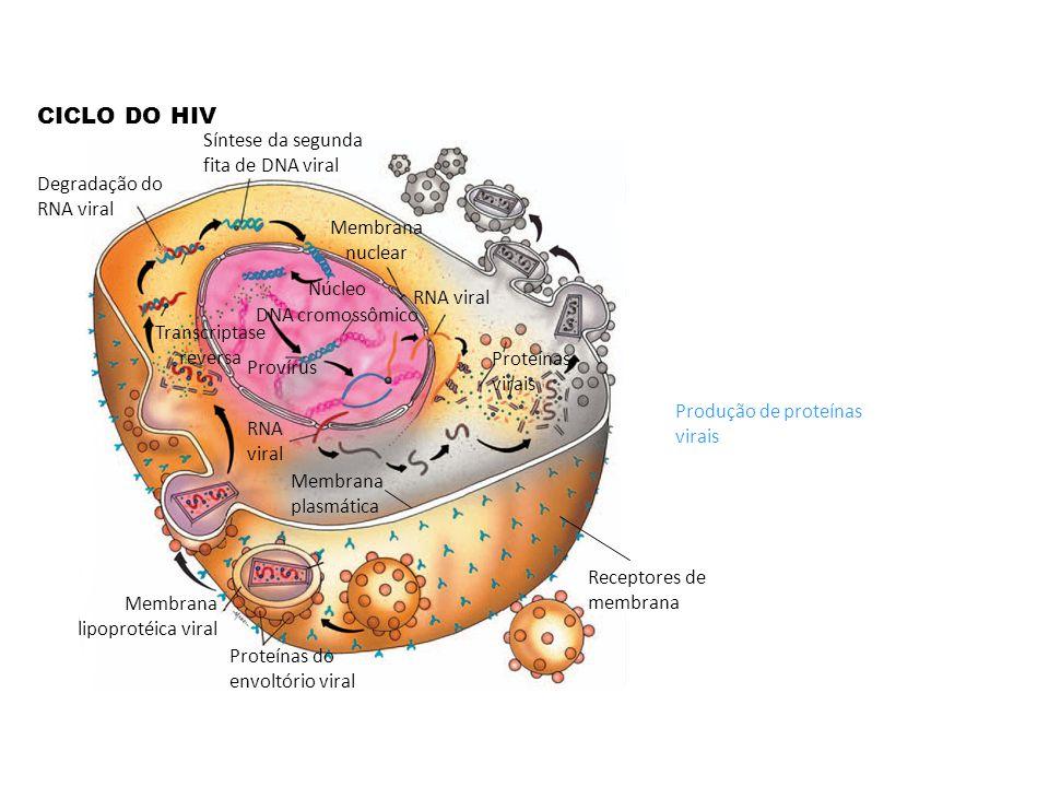 CICLO DO HIV Receptores de membrana Membrana plasmática Proteínas do envoltório viral Membrana lipoprotéica viral Síntese da segunda fita de DNA viral