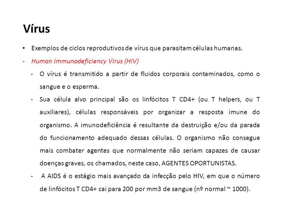 Vírus Exemplos de ciclos reprodutivos de vírus que parasitam células humanas. -Human Immunodeficiency Virus (HIV) -O vírus é transmitido a partir de f