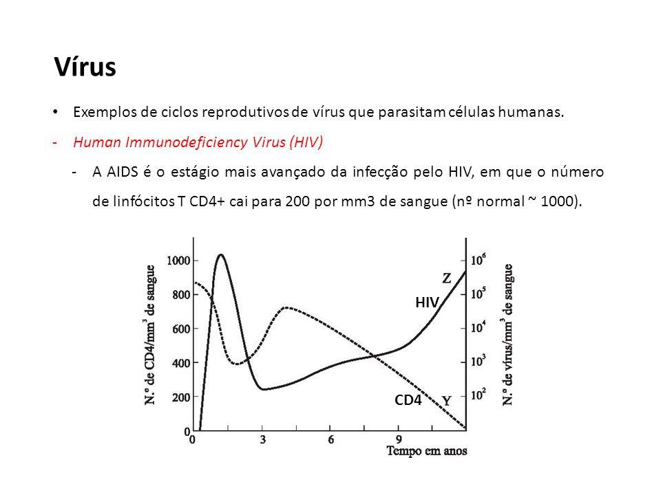 Vírus Exemplos de ciclos reprodutivos de vírus que parasitam células humanas. -Human Immunodeficiency Virus (HIV) -A AIDS é o estágio mais avançado da