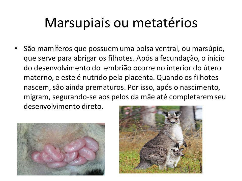 Marsupiais ou metatérios São mamíferos que possuem uma bolsa ventral, ou marsúpio, que serve para abrigar os filhotes. Após a fecundação, o início do