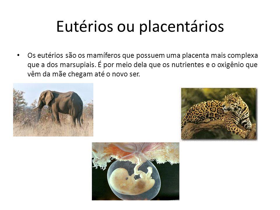 Eutérios ou placentários Os eutérios são os mamíferos que possuem uma placenta mais complexa que a dos marsupiais. É por meio dela que os nutrientes e