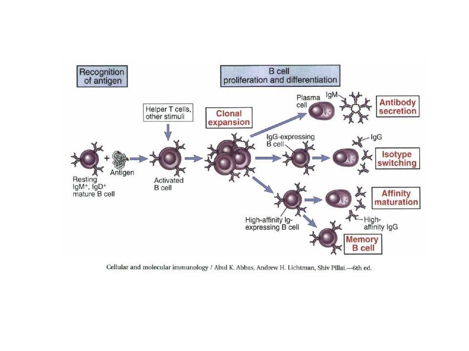 Resposta Humoral - LB O LB reconhece o Ag diretamente, isto é, a Ig na superfície se liga diretamente ao Ag.