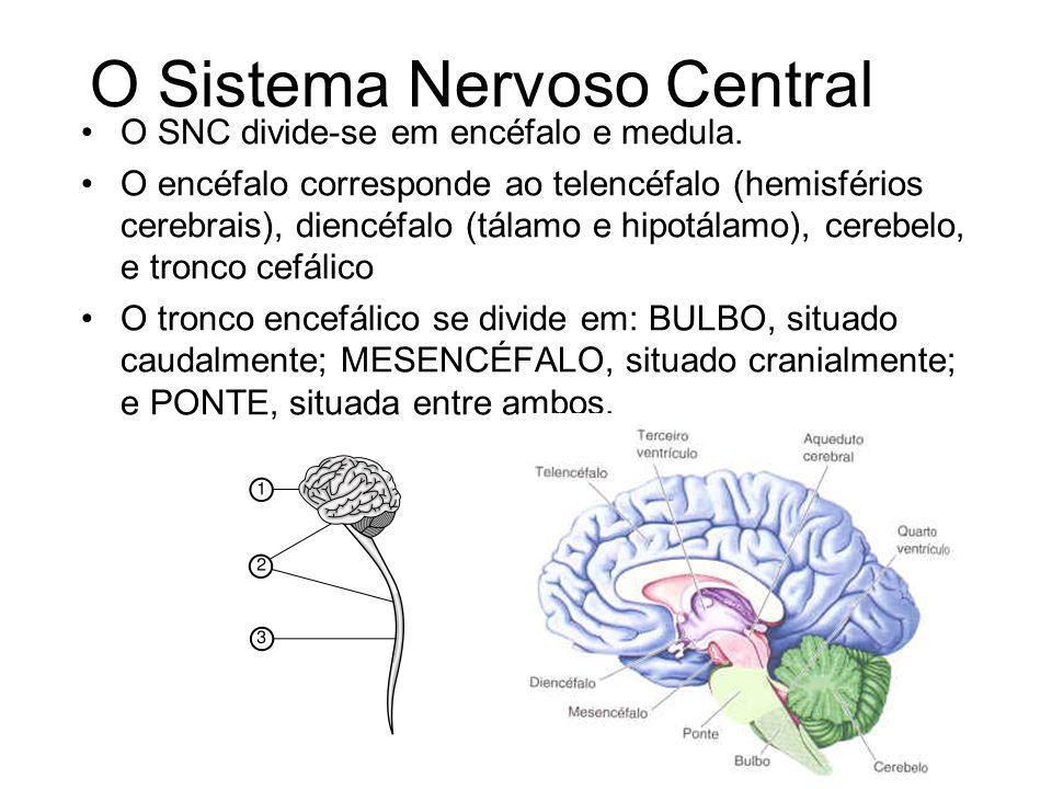 O Telencéfalo O encéfalo humano contém cerca de 35 bilhões de neurônios e pesa aproximadamente 1,4 kg.