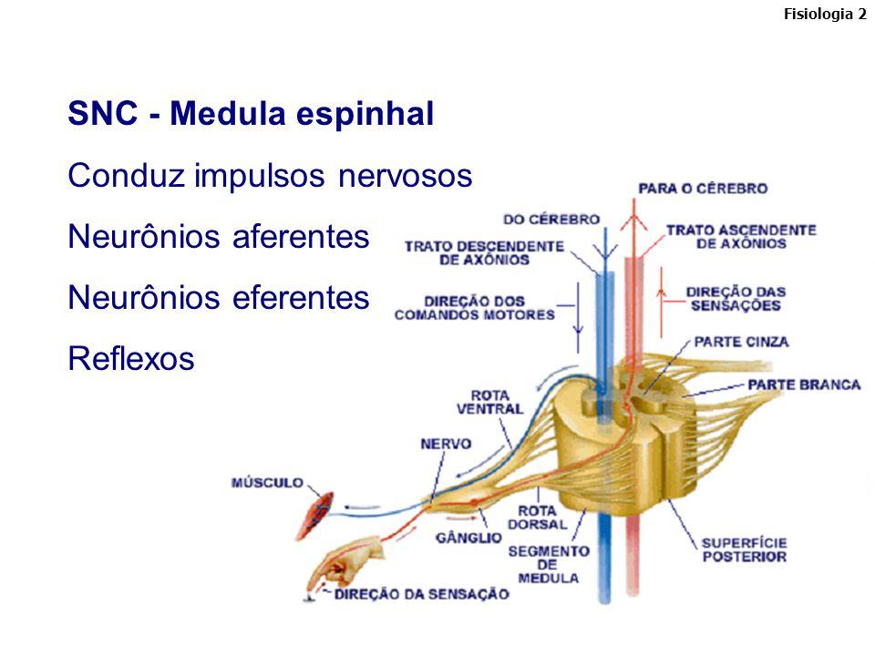 O Sistema Nervoso Central Os órgãos do SNC são protegidos por estruturas esqueléticas (caixa craniana, protegendo o encéfalo; e coluna vertebral, protegendo a medula - também denominada raque) e por membranas denominadas meninges, situadas sob a proteção esquelética: dura-máter (a externa), aracnóide (a do meio) e pia-máter (a interna).