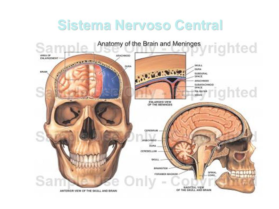 Algumas estruturas do encéfalo e suas funções Tronco Encefálico Tronco Encefálico é uma área do encéfalo que fica entre o tálamo e a medula espinhal.