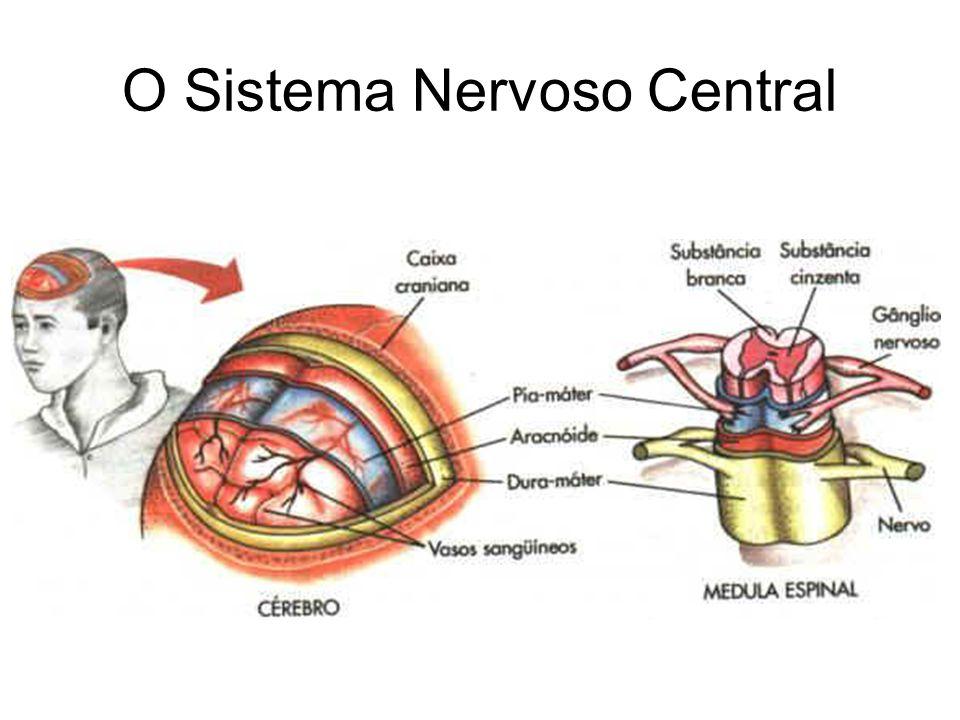 Algumas estruturas do encéfalo e suas funções Córtex Cerebral Funções: Pensamento Movimento voluntário Linguagem Julgamento Percepção