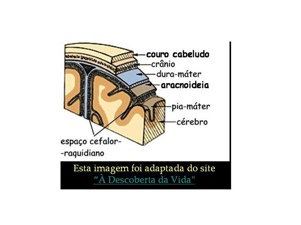 Algumas estruturas do encéfalo e suas funções Cerebelo Funções: Movimento Equilíbrio Postura Tônus muscular