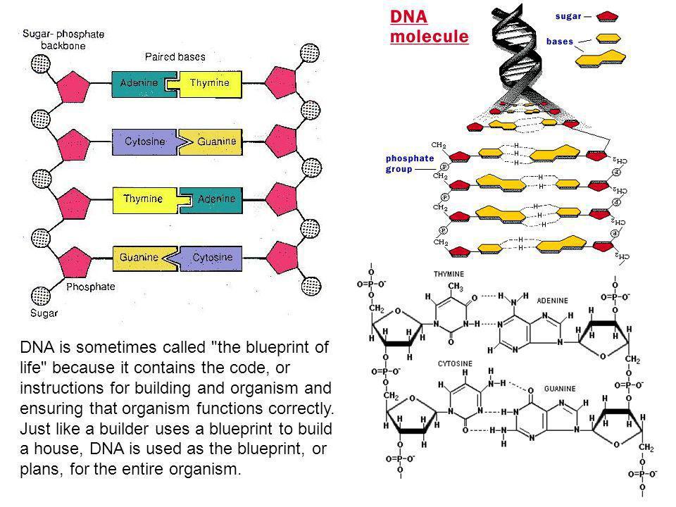 DNA (Ácido Desoxirribonuclêico) Ácido desoxirribonucleico (ADN ou DNA acid) é uma molécula orgânica capaz de armazenar a informação genética que coordena o funcionamento de todos os organismos vivos.