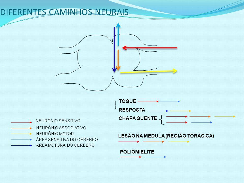 DIFERENTES CAMINHOS NEURAIS NEURÔNIO SENSITIVO NEURÔNIO ASSOCIATIVO NEURÔNIO MOTOR ÁREA SENSITIVA DO CÉREBRO ÁREA MOTORA DO CÉREBRO TOQUE RESPOSTA CHAPA QUENTE LESÃO NA MEDULA (REGIÃO TORÁCICA) POLIOMIELITE