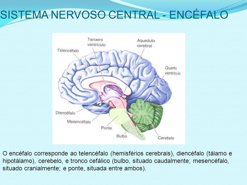 SISTEMA NERVOSO CENTRAL - ENCÉFALO O encéfalo corresponde ao telencéfalo (hemisférios cerebrais), diencéfalo (tálamo e hipotálamo), cerebelo, e tronco cefálico (bulbo, situado caudalmente; mesencéfalo, situado cranialmente; e ponte, situada entre ambos).