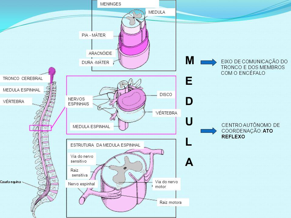 TRONCO CEREBRAL MEDULA ESPINHAL VÉRTEBRA MENINGES MEDULA PIA - MÁTER ARACNÓIDE DURA -MÁTER NERVOS ESPINHAIS DISCO 'VÉRTEBRA MEDULA ESPINHAL ESTRUTURA DA MEDULA ESPINHAL Via do nervo sensitivo Via do nervo motor Raiz motora Raiz sensitiva Nervo espinhal MEDULAMEDULA EIXO DE COMUNICAÇÃO DO TRONCO E DOS MEMBROS COM O ENCÉFALO CENTRO AUTÔNOMO DE COORDENAÇÃO: ATO REFLEXO